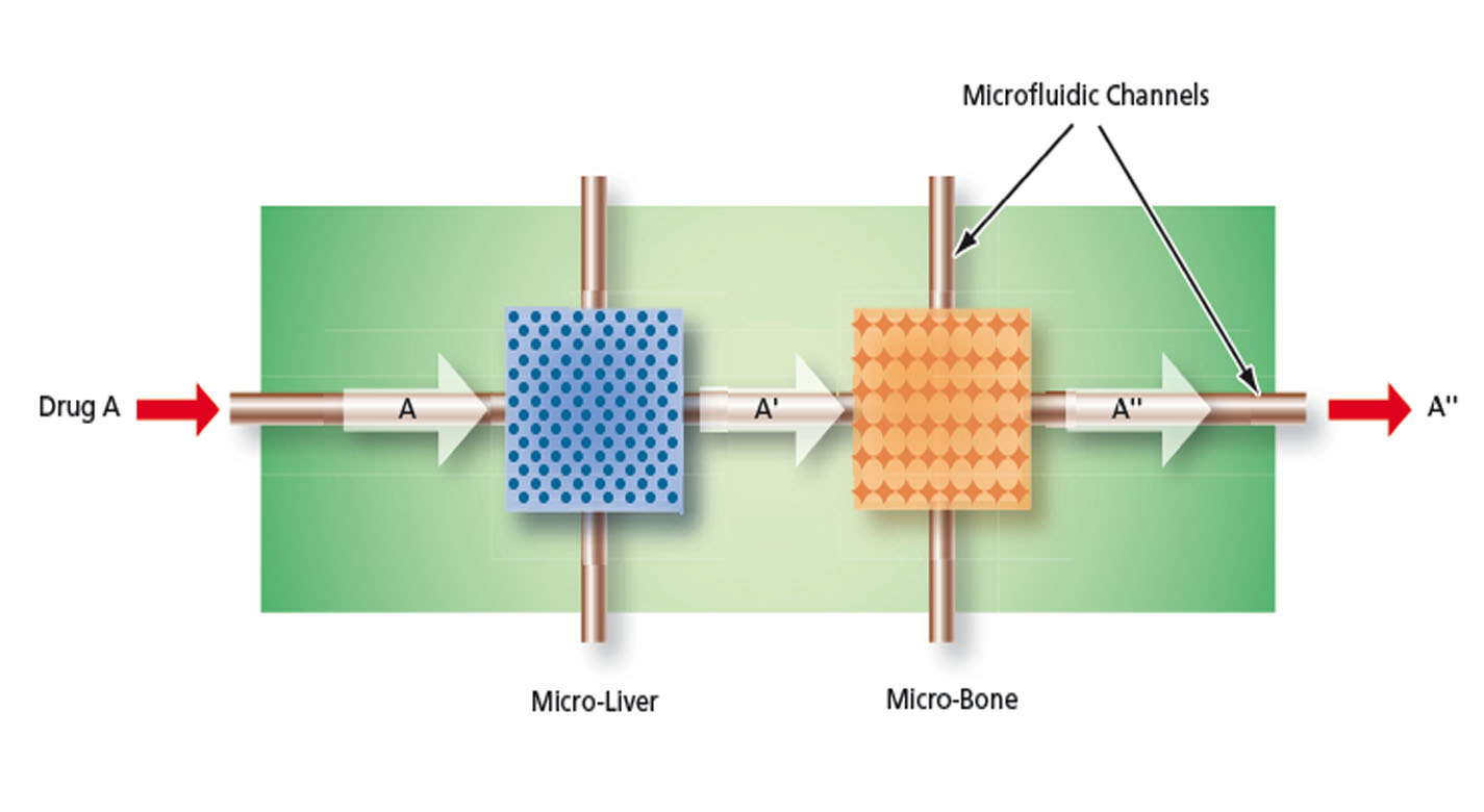 One of the MOD designs for a drug conversion study showing the conversion of an inactive drug form A to the active drug form A' by perfusion through a liver micro-organ, the effect of the active drug form A' on a secondary target bone micro-organ and the monitoring of A